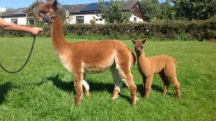 Amber Valley Cinnamon with cria Amber Valley Meg